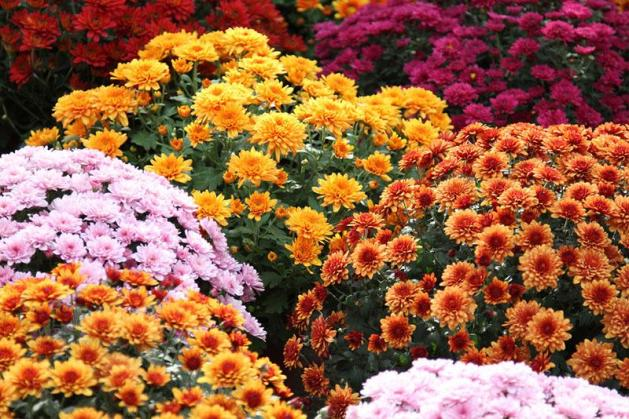 chrysanthemums-nov-flower