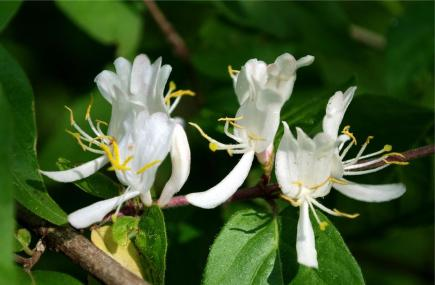 https://bradyjewels.files.wordpress.com/2017/06/0835a-honeysuckle-flower-wallpaper.jpg?w=435&h=285