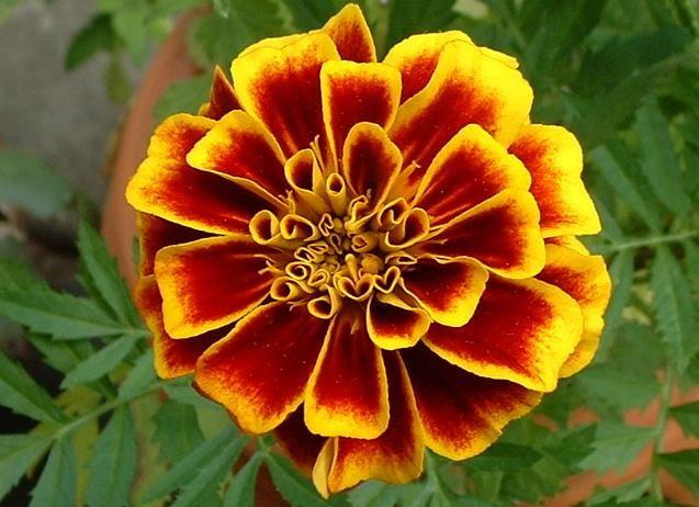 marigold flowe